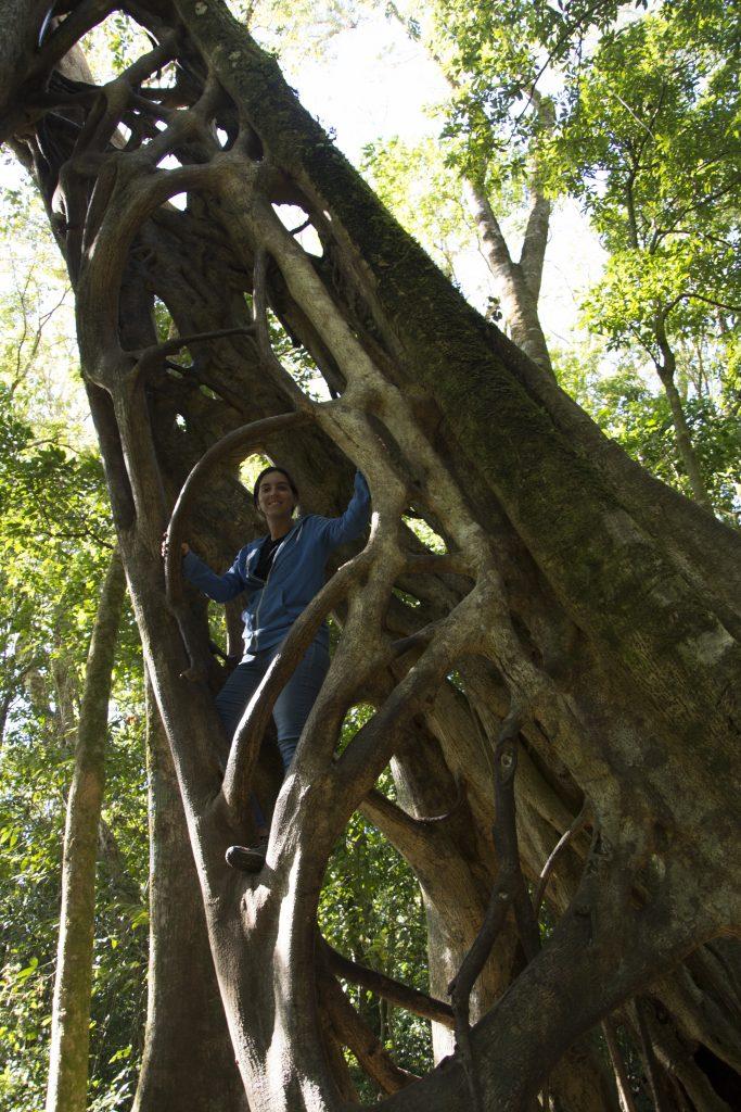 Ficus estrangulador en Monteverde Costa Rica